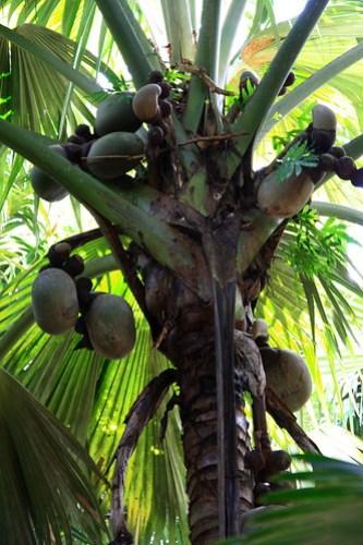 Coco de Mer (2) by karstn.