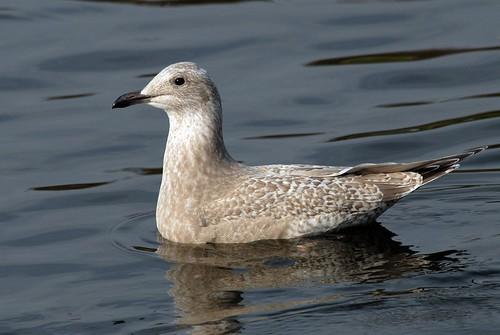 Thayer's Gull, 1st winter
