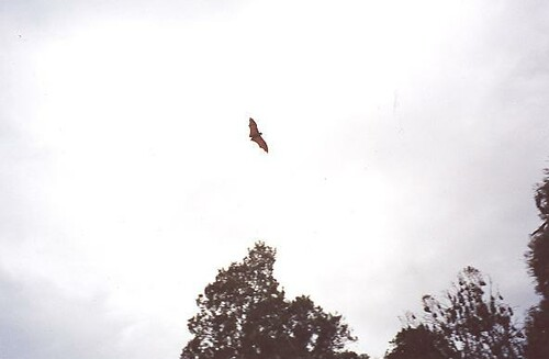 A flying fox, flying