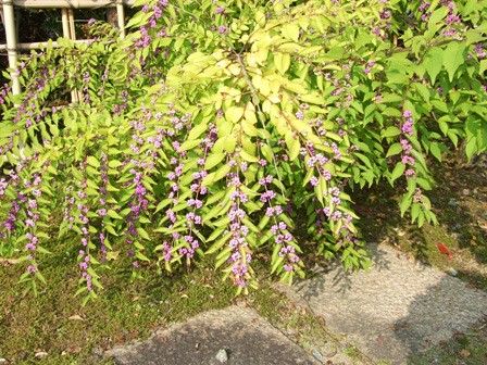 ムラサキシキブ~紫式部~念珠松庭園
