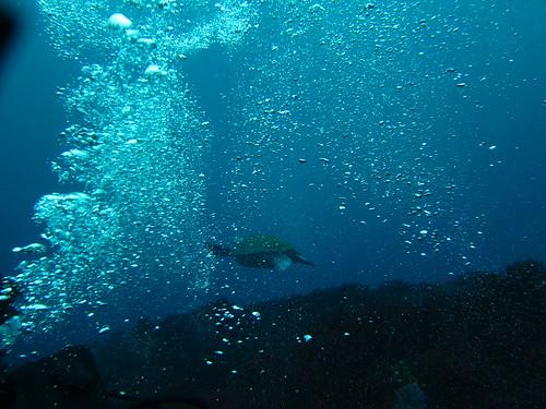 逃げるアオウミガメ