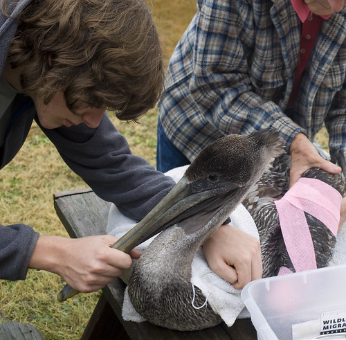 Perry holds the pelican while the wing is immobilized.