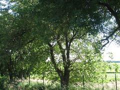 Mulberry Bush (Tree)
