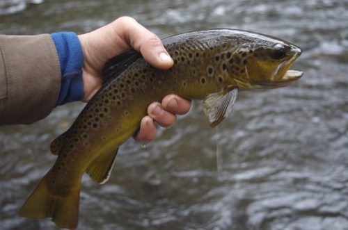 Savage River Brown Trout