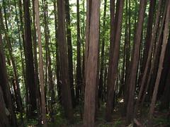 Redwood trees in Muir Woods