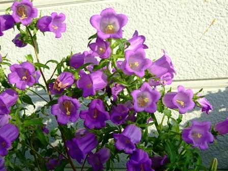 カンパニュラ~紫