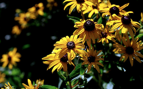 Black-Eyed Susans. (Kodak Ektachrome E100VS. Nikon F100. Epson V500.)