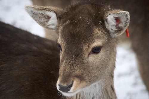 Bambi mit Ohrstecker