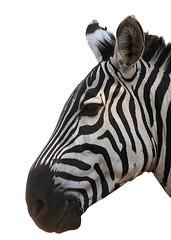Zebra head on white background