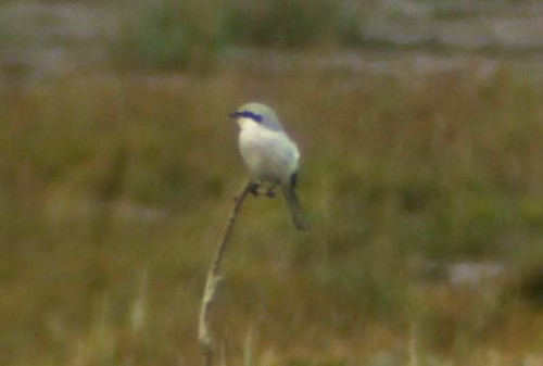 Great Grey Shrike (digiscoped)