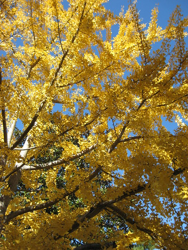 Arent Ginko Trees Swell
