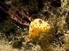 Nudibranch (Jorunna sp.)