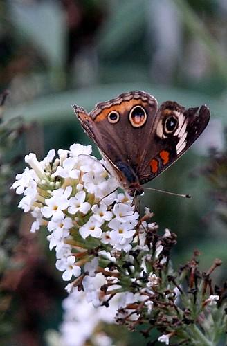 Buckeye Butterfly Bush