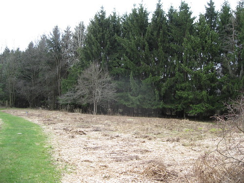 Norway Spruce Line