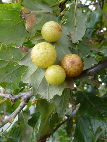 Oak Cherry Galls