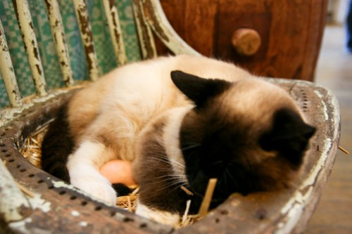 A Cat Laying Eggs!