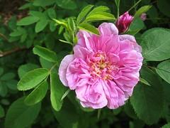 Blomidon Pink