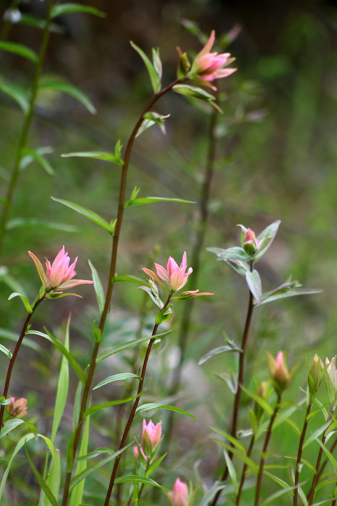 indian paintbrush