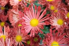 菊花 chrysanthemum
