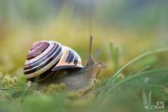 European snail