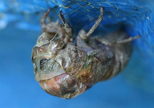 cicada13