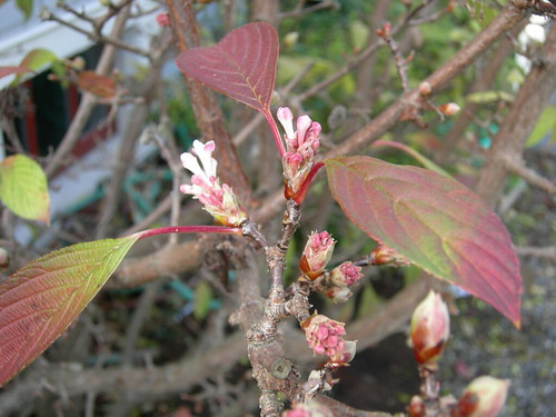 Viburnum x bodnantense in fall