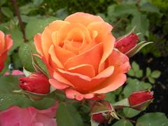 Van Dusen rose