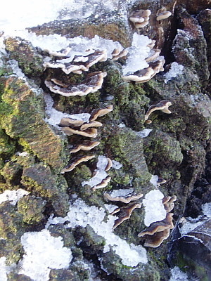 close up of the fungus on the tree stump.