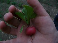 first radish