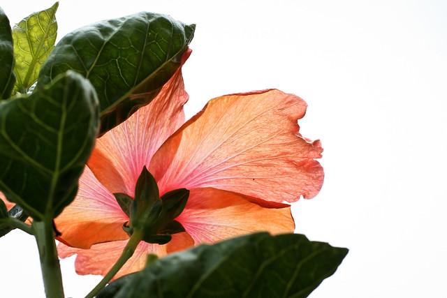 Hibiscus Rear View at Kula Tropical Flower Gardens, Maui