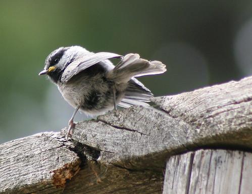 fledgling mt. chickadee