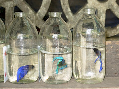 Siamese fighting fish 6
