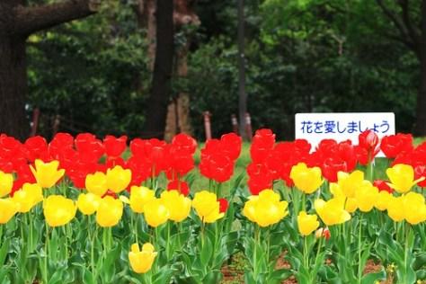 IMG_9306_DXO_tulip
