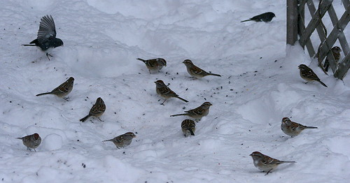 Tree Sparrows and a junco