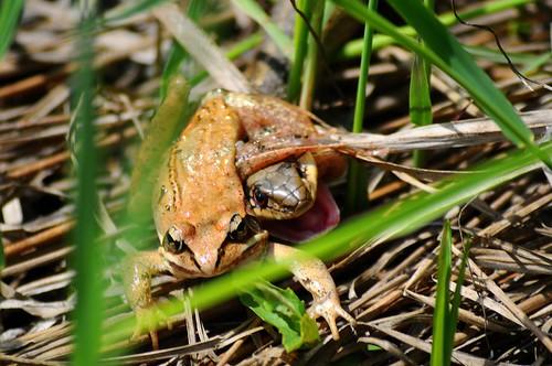 Common Garter Snake and Wood Frog