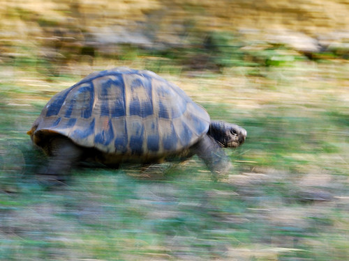 World's fastest turtle