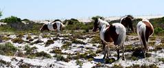 Pretty horses on Assateague Island