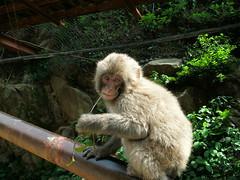 67 - Snow Monkey - 20080618