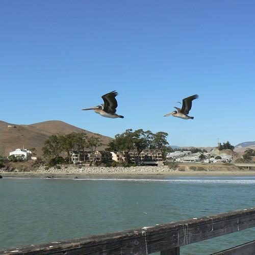 Pelicans at Cayucos Pier