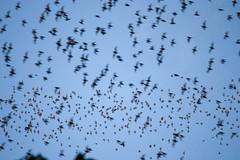 Bat exodus at Mulu caves