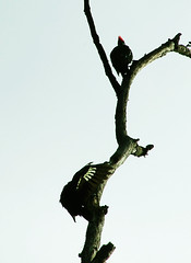 Grooming pileated woodpeckers