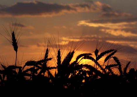 Wheat Silhouette
