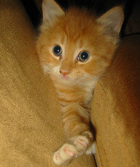 20080329 - Oranjello, the new kitten - 152-528...