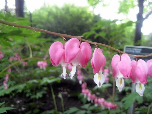 Bleeding Heart, Chinese Garden