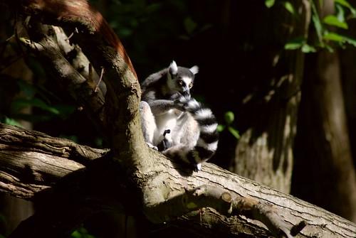Katta im Tierpark CERZA in der Normandie