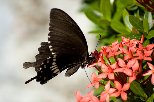 Papilio polytes pasikrates