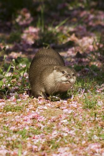 otter in blossom