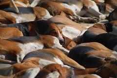 Hundemeute in La Bourbansais