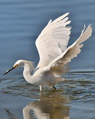 Snowy Egret Fishing in Shoreline Lake