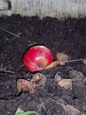 fallen apple on bare earth, in the garden